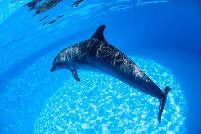 Fototapeta Dolphin swims under the water