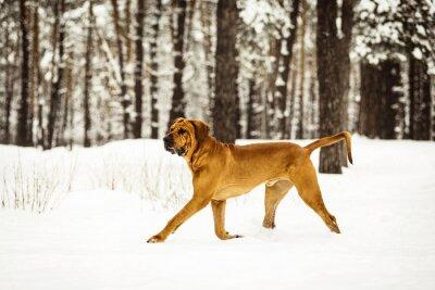 Fototapeta Dorosła Fila Brasileiro ma zabawę w śniegu