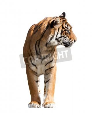 Fototapeta Dorosły tygrys. Pojedynczo na białym tle z cienia