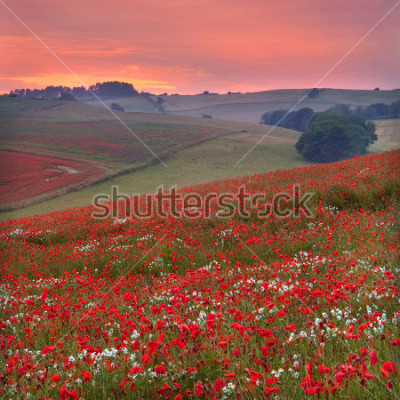 Fototapeta Dorset poppy field sunset, UK