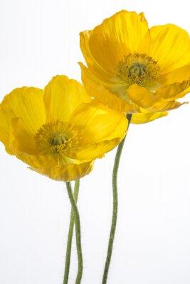 Fototapeta drei żółte klatschmohnblüten