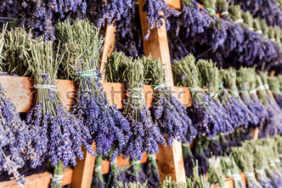 Fototapeta Dried bunches of lavender hanging on wooden ladders. Traditional lavender flower drying