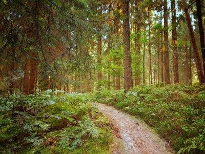 Fototapeta Droga leśna w lesie naturalnym