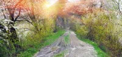 Fototapeta Droga między wiśniami