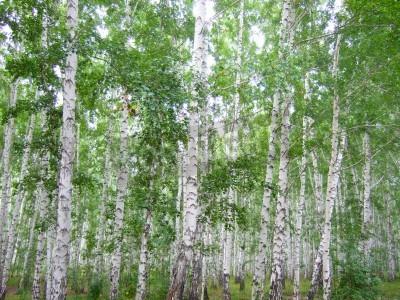 Fototapeta Droga w lesie brzozy