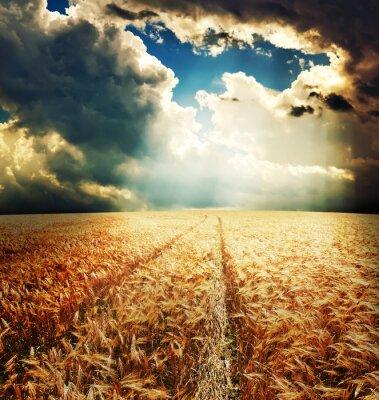 Fototapeta Droga w polu złota uszy pszenicy pod promieni słonecznych