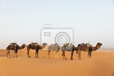 Dromader w Saharze. Maroko.