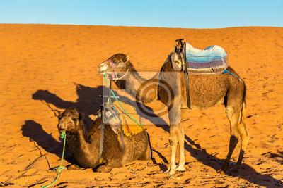 Dromader wielbłądy odpoczynku w Erg Chebbi wydmy Sahary. Merzouga, Maroko