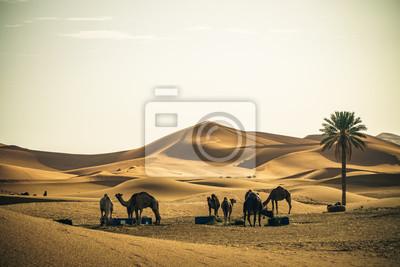 Dromedary camels in Sahara desert, Merzouga, Morocco