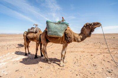 Dromedary camels standing on Sahara desert in Morocco.