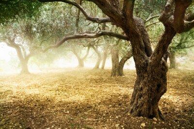 Fototapeta Drzew oliwnych