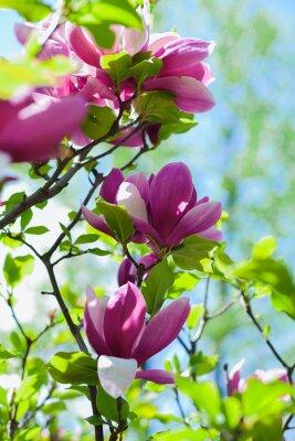 Fototapeta drzewa kwiat magnolii