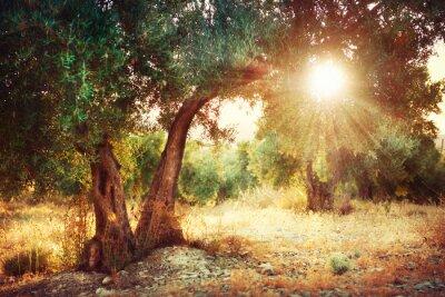 Fototapeta Drzewa oliwne