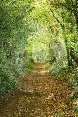 Fototapeta Drzewa prowadzące w dół ścieżką w lesie kraju angielskiego