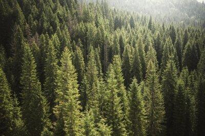 Fototapeta drzewa sosnowego lasu z góry