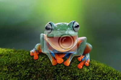 Fototapeta Drzewna żaba, latający żaby śmiać się