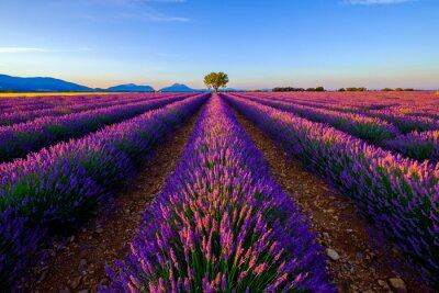 Fototapeta Drzewo w lawendowym polu o wschodzie słońca w Provence, Francja