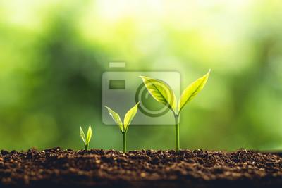 Fototapeta Drzewo wzrostu Trzy kroki w przyrodzie i piękne oświetlenie poranne