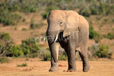 Fototapeta Duży afrykański byk byk Loxodonta africana, Addo Elephant National Park, Republika Południowej Afryki