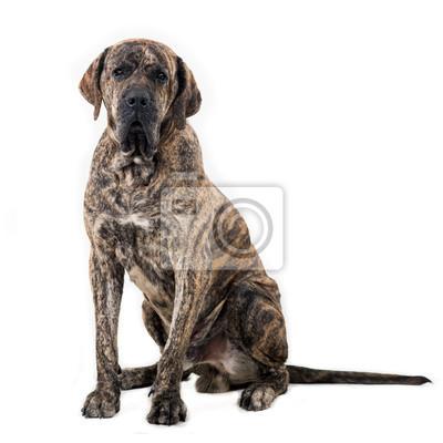 Fototapeta Duży pies posiedzenia samodzielnie na białym tle. Brazylijski fila.