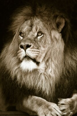 Fototapeta duży samiec lwa afrykańskiego