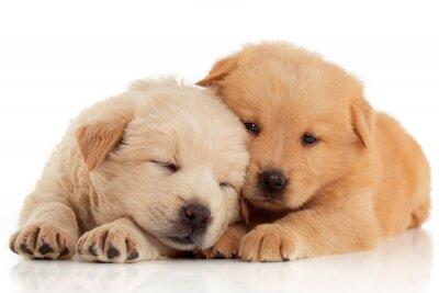 Fototapeta Dwa cute szczenięta Chow-chow, samodzielnie na białym tle