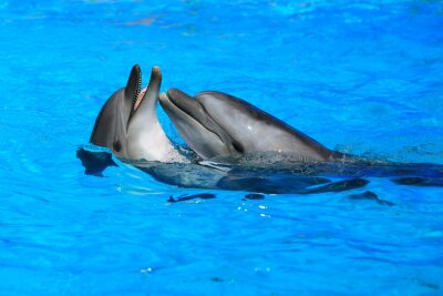Fototapeta dwa delfiny