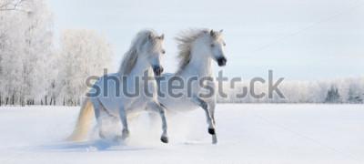 Fototapeta Dwa galopującego biały Welsh konika na śnieżnym polu
