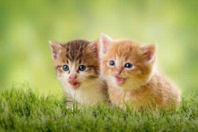 Fototapeta dwa kocięta