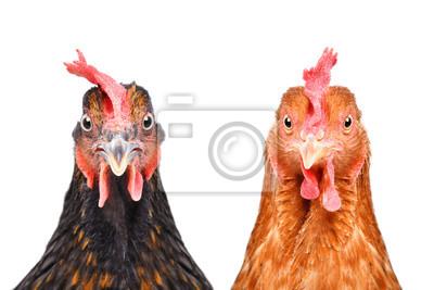 Fototapeta Dwa kurczaka odizolowywającego na białym tle patrzeje kamerę