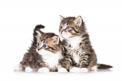 Fototapeta Dwa małe kocięta tabby