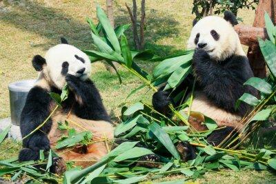Fototapeta Dwa pand jedzenia bambusa