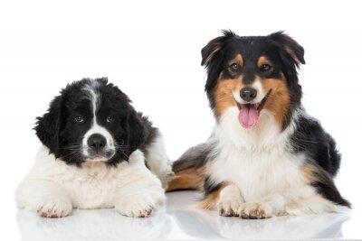 Fototapeta Dwa psy