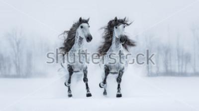 Fototapeta Dwa runnig szarość długonogi Purebred Hiszpańscy konie przez śnieżnego pole.