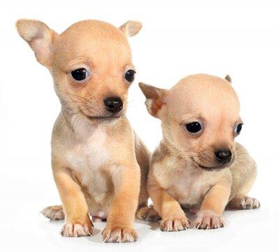 Fototapeta Dwa tan chihuahua szczeniak małych psów