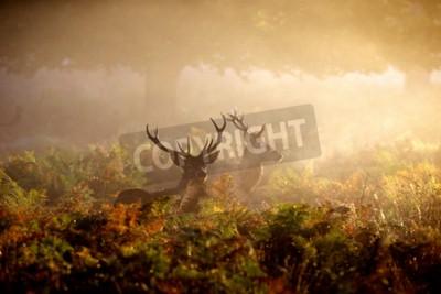 Fototapeta Dwie czerwone byki jelenia w mgle o świcie