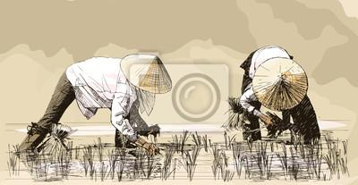 Fototapeta Dwie kobiety zbioru ryżu w Azji