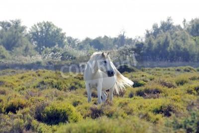 Fototapeta Dziki biały koń z Camargue, Francja, wypas w podmokłych na letnie popołudnie