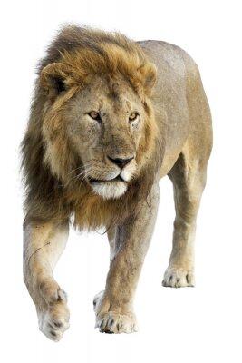 Fototapeta Dziki darmo roamingu samiec lwa na białym tle