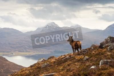 Fototapeta Dziki jeleń widokiem Loch Torridon i dramatyczną Wester Ross pasmo górskie, Szkocja