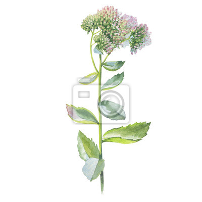 Dziki kwiat błysnęła w stylu akwarela izolowane. Pełna nazwa tego zioła: orpine, Sedum, Hylotelephium, całkowity. Aquarelle kwiat dla tła, tekstury, wzór, ramki lub obramowanie.