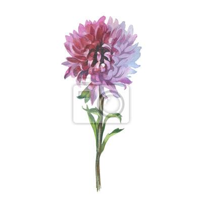 Dziki kwiat chryzantemy w stylu akwarela izolowane. Pełna nazwa tego zioła: chryzantema, dalia. Aquarelle kwiaty mogą być wykorzystane do tła, tekstury, wzór, ramki lub obramowanie.