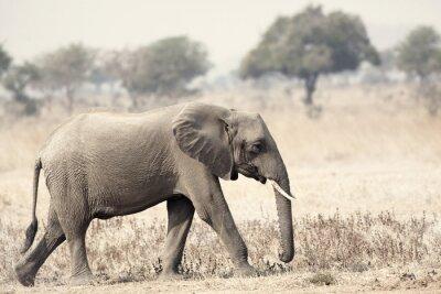 Fototapeta Dziki słoń