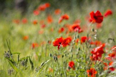 Fototapeta dzikich kwiatów maku