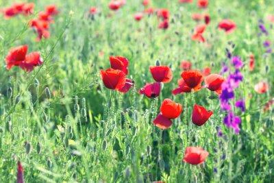 Fototapeta Dzikie czerwone kwiaty maku