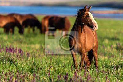 Fototapeta Dzikie konie pasą się w nasłonecznionej łące