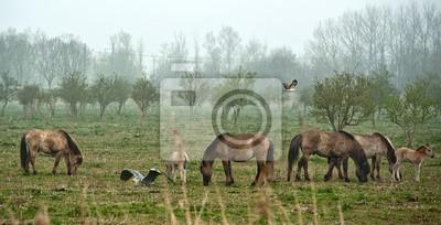 Dzikie konie pasące się w polu na wiosnę