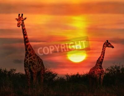 Fototapeta Dzikie Żyrafy w sawanny o zachodzie słońca
