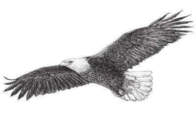 Fototapeta Eagle latania, ręcznie rysować monochromatycznych na białym tle.