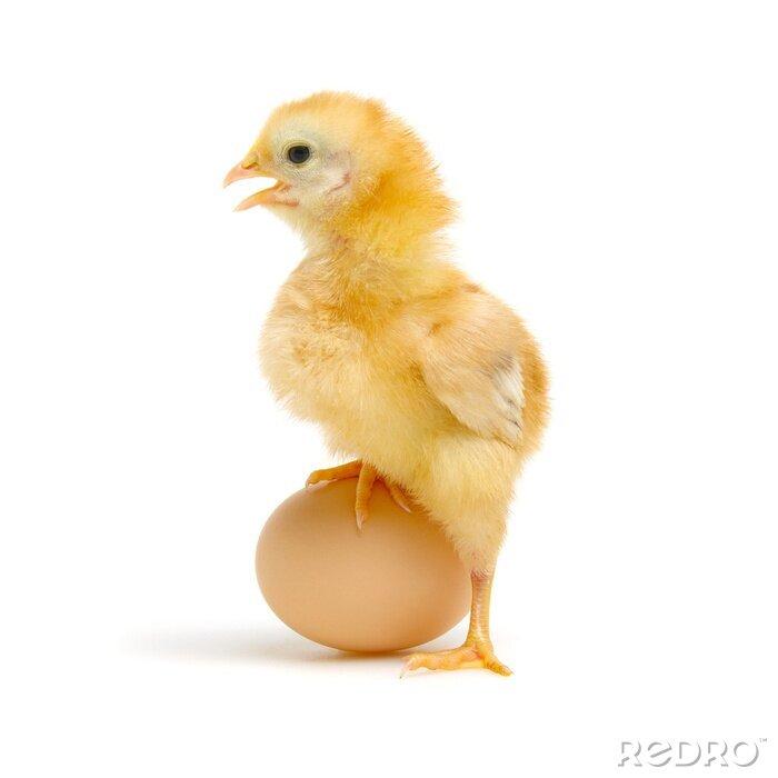 Fototapeta egg and chicken